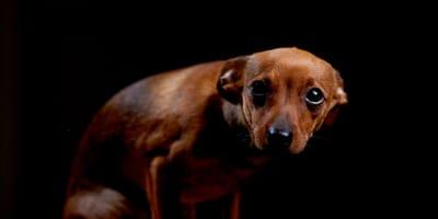 Kleiner ängstlicher Terrier vor schwarzem Hintergrund