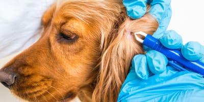 Preparat na kleszcze dla psa – zobacz jak chronić swojego pupila!