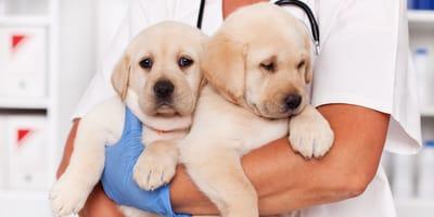 Kokcydioza u psów
