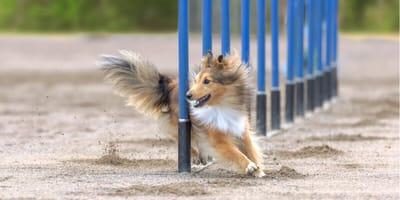 Hund durchläuft Parcours