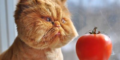gato comiendo jitomate