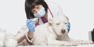 Mierzenie psu temperatury