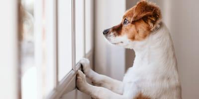 Pies sam w domu - jak przyzwyczaić psa do samodzielnego pobytu w domu?