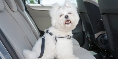 Przewożenie psa w samochodzie – praktyczne porady