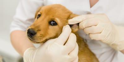 Richtig gepflegt: Beim Hund die Ohren sauber machen