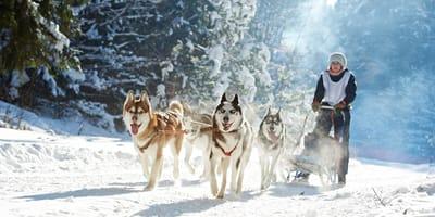 Psy zaprzęgowe: poznaj rasy psów, które mogą ciągnąć sanie!
