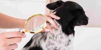 Swędzący problem, czyli jak pozbyć się wszy u psa?