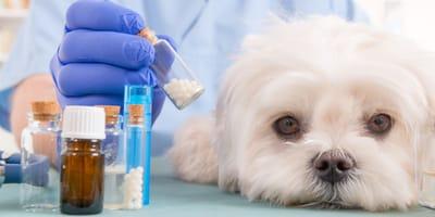 Malteser Hund wird mit Globuli behandelt