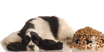 Zatrucie pokarmowe u psa