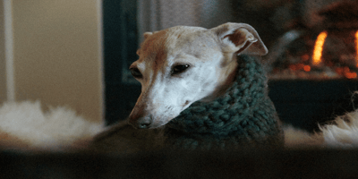 Grey whippet dog in a jumper