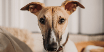 Brown and white whippet