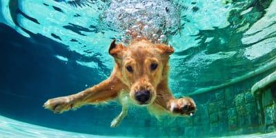 pies pływa