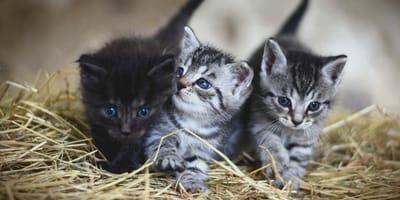 Drei Kitten im Stroh