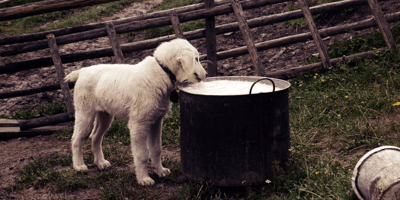 Can dogs drink cow's milk?