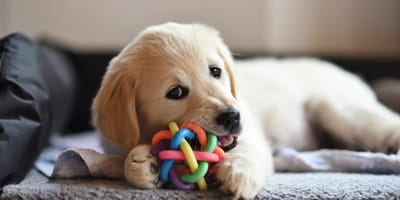 gryzak dla psa
