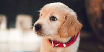 Why is my puppy crying?