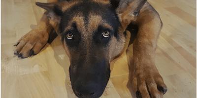 Nervous German Shepherd