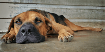 Dog runny nose: Causes and treatment