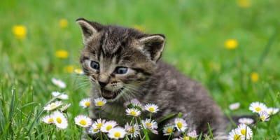 Grey kitten around flowers
