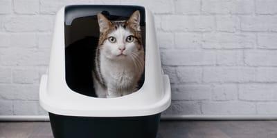 Grey cat in litter box