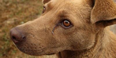 Hund mit Träne im Auge