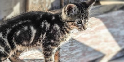How to prevent kittens from getting fleas?