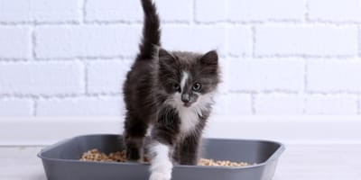 Black and white kitten in a litter box