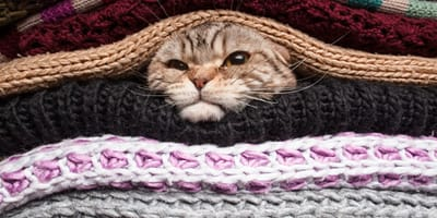 gato escondido en las sabanas