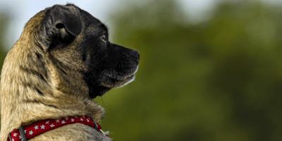 Jack Russell cross Pug
