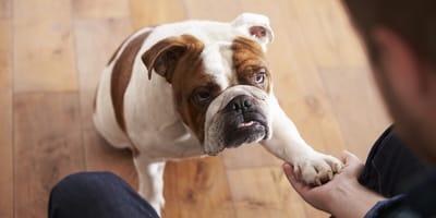 Bulldogge gibt Pfötchen