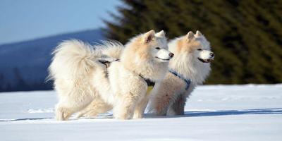 Two white samoyed in  the snow
