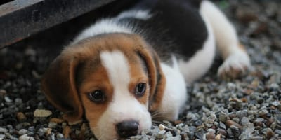 How to prevent separation problems in puppies
