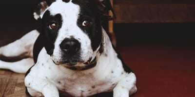 Black and white American Pit Bull Terrier