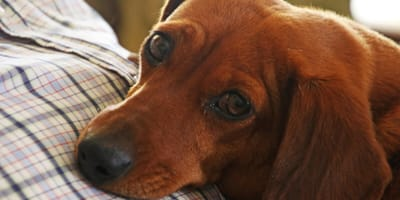 Dog ear yeast infection