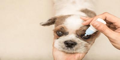 Dog having drops in his eye