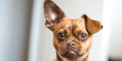 Chihuahua cross Pug: everything you need to know