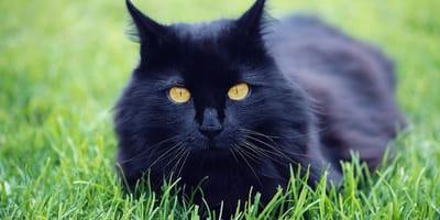 Gatto nero su un prato verde