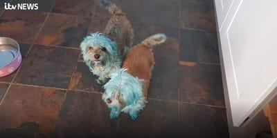 due cani dipinti di blu