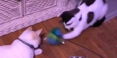 Due gattini ciechi giocano insieme con giocattolo