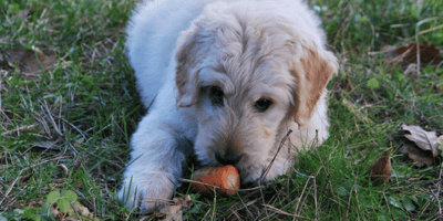 White dog eating a carrot