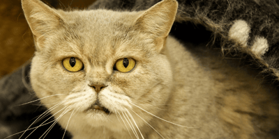 Everything you need to know about arthritis in cats