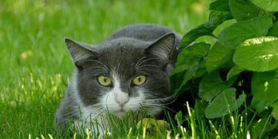 Grey cat hiding in the grass
