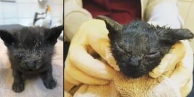 Black kitten injured