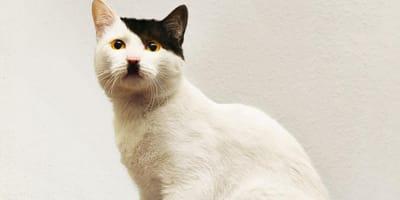 Katzen, die aussehen wie Diktatoren und verrückte Politiker