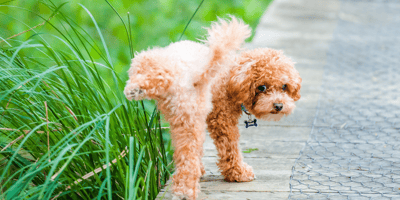 Urine infections in dogs: the symptoms and the causes