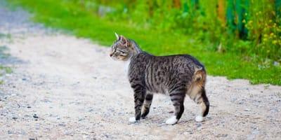 Warum haben manche Katzen keinen Schwanz?