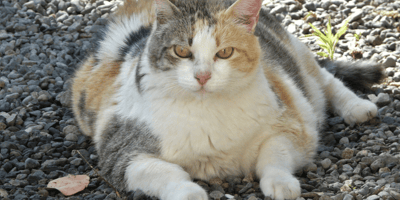 White grey and brown fat cat