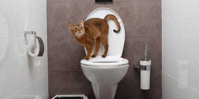 Brown cat on a toilet