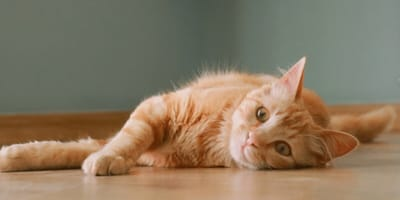 Home remedies for cat constipation
