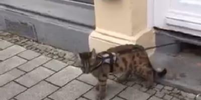 Gatto con guinzaglio su un marciapiede
